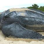 Самая большая черепаха в мире - больше тонны! 1