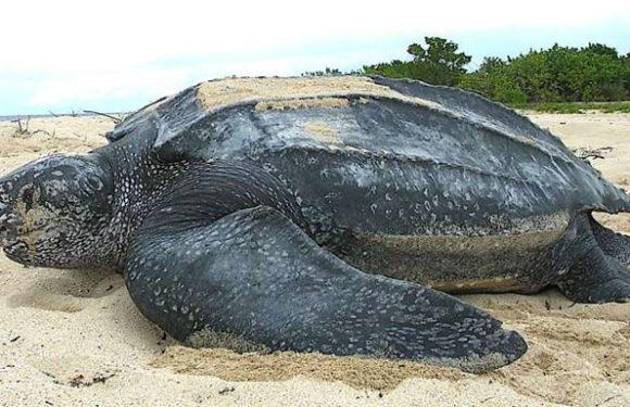 Самая большая черепаха в мире - больше тонны!
