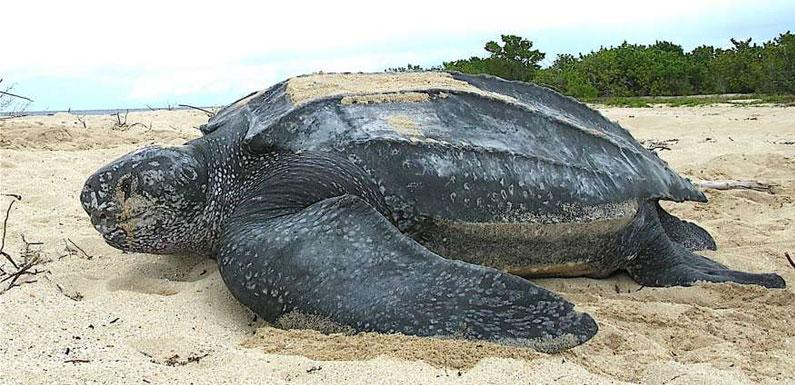 Самая большая черепаха в мире – больше тонны!