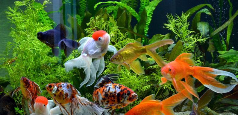Содержание золотых рыбок в аквариуме: что нужно знать