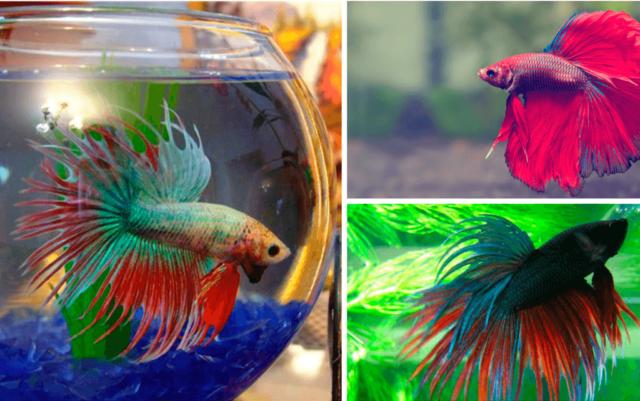 рыбки петушки в аквариуме