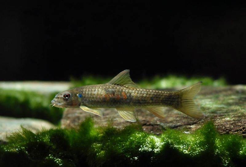 Рыбки Гарра: виды, содержание в аквариумах и уход 6