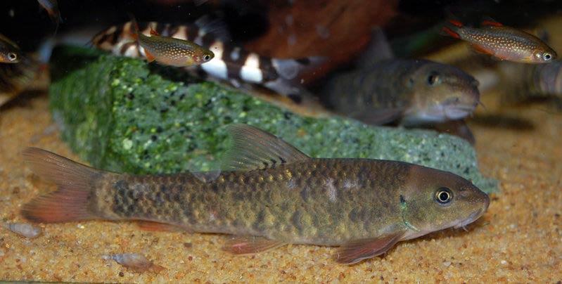 Рыбки Гарра: виды, содержание в аквариумах и уход 8