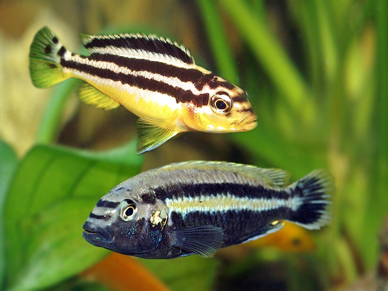 Меланохромисы - уход и содержание ярких обитателей аквариума 1