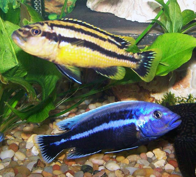 Меланохромисы - уход и содержание ярких обитателей аквариума 3