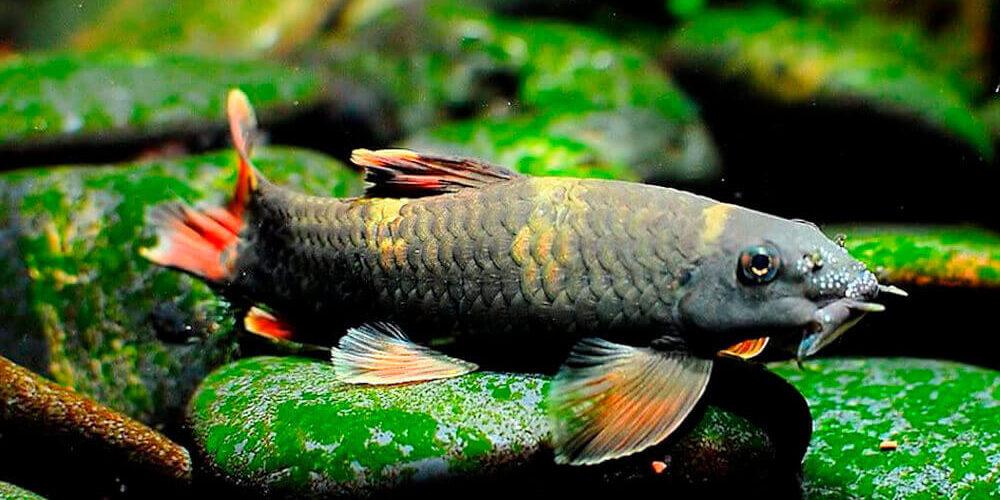 Рыбки Гарра: виды, содержание в аквариумах и уход