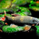Рыбки Гарра: виды, содержание в аквариумах и уход 2
