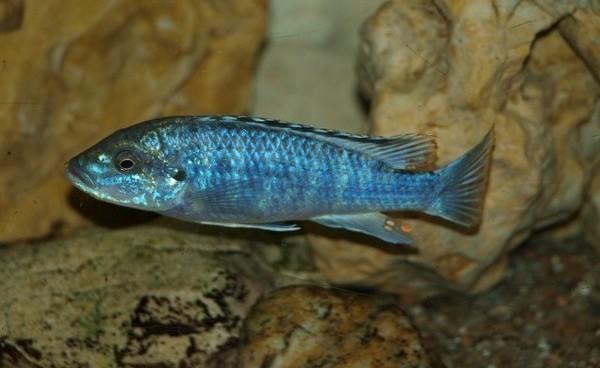 Меланохромисы - уход и содержание ярких обитателей аквариума 4