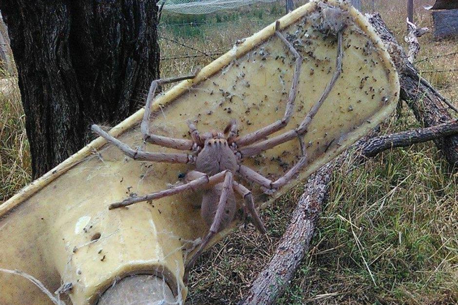 Самый большой паук в Мире: только посмотрите на фото и размеры 1