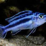 Меланохромисы - уход и содержание ярких обитателей аквариума 15