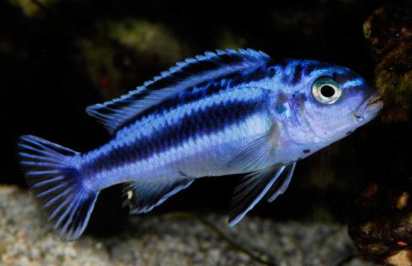 Меланохромисы - уход и содержание ярких обитателей аквариума