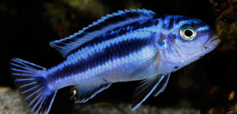 Меланохромисы – уход и содержание ярких обитателей аквариума