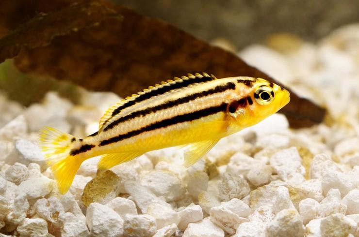 Меланохромисы - уход и содержание ярких обитателей аквариума 2