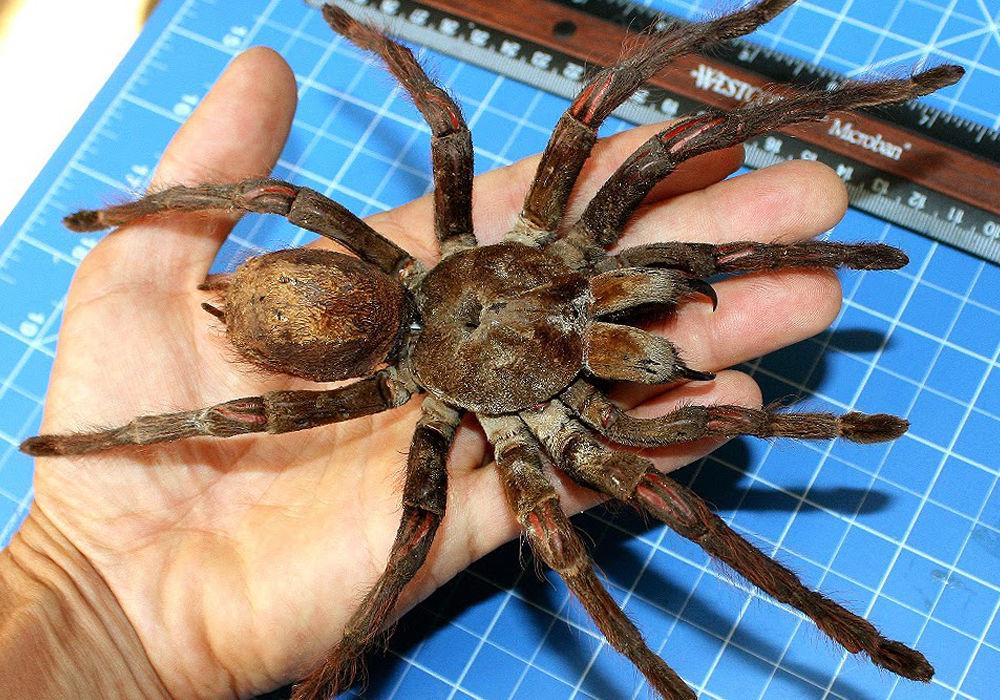 Самый большой паук в Мире: только посмотрите на фото и размеры 2