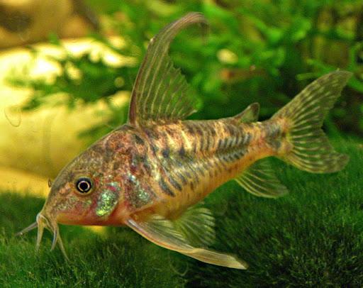Рыбки Гарра: виды, содержание в аквариумах и уход 7