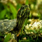 Содержание красноухих черепах в домашних условиях 1