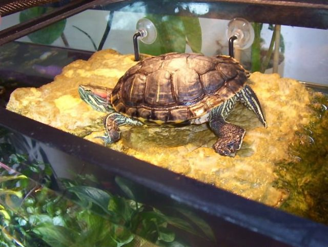 Содержание красноухих черепах в домашних условиях 4