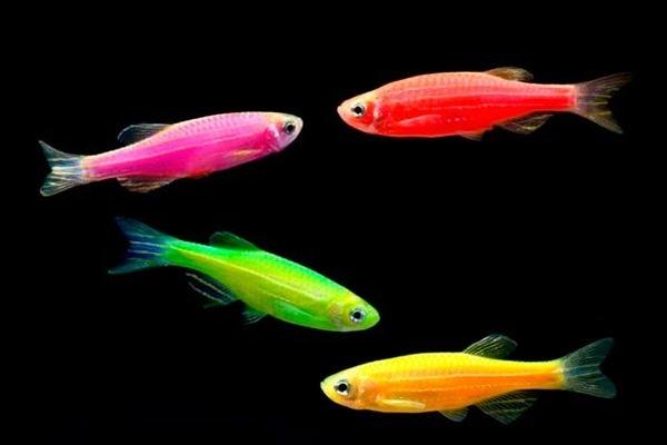 """Выбор """"соседей"""" в аквариум для петушков 2"""