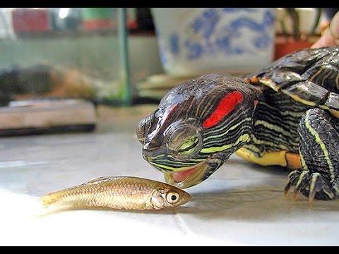 Содержание красноухих черепах в домашних условиях 5